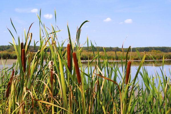close-up of cattails in front of a pond