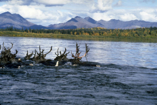 15 Caribou Kobuk River