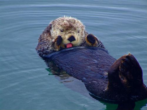 19 Sea Otter
