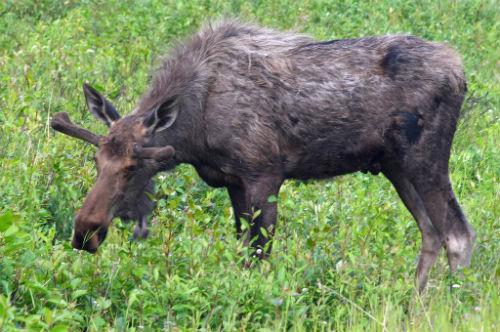 5 Summer Alaska Moose