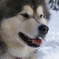 Alaskan-Malamute