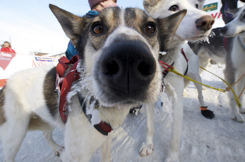 Image result for iditarod dogs images