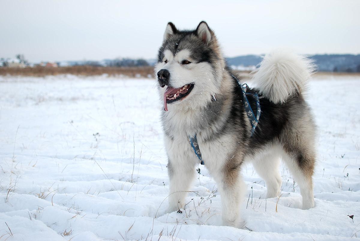 Grey Dogs Big